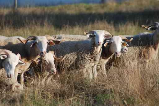 ovelhas_raca_bordaleira